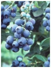 Blueberry - Tifblue (Mid Season) White Tag