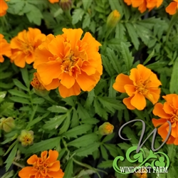 Marigold Janie Orange