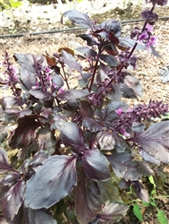 Certified  Organic Herbs Basil Dark Purple Opal