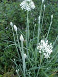 Certified  Organic Herbs Chives Garlic