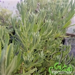 Certified Organic Herbs Goodwin Creek Lavender