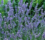 Certified Organic Herbs Grosso Lavender