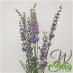 Certified  Organic Herbs Lavender Provence