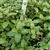 Certified  Organic Herbs Mint Peppermint