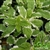 Certified  Organic Herbs Mint Pineapple