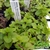 Certified  Organic Herbs Mint Spearmint