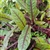 Certified  Organic Herbs Red Veined Sorrel