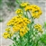Certified  Organic Herbs Tansy
