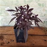 Sweet Potato Vine - Purple
