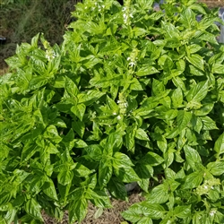 Fresh Herb - Basil