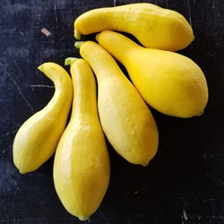Summer Squash - Yellow Semi Crookneck