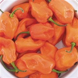 Magnum Orange Habanero Pepper