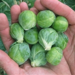 Brussels Sprouts, Dagan (F1)