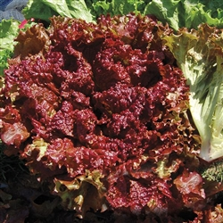 Lettuce, New Red Fire