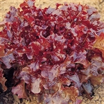 Lettuce, Red Oak Leaf Lettuce