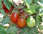 Certified Organic Tomato Plants Black Plum