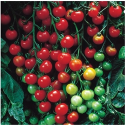Certified Organic Tomato Plants Supersweet 100 Red Cherry
