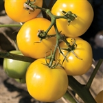 Certified Organic Tomato Plants Taxi Yellow