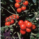 Certified Organic Tomato Plants Washington Cherry