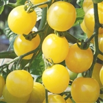 Certified Organic Tomato Plants White Cherry