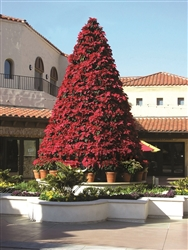 Poinsettia Trees
