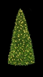 11' to 21' standard base Mountain Pine tree