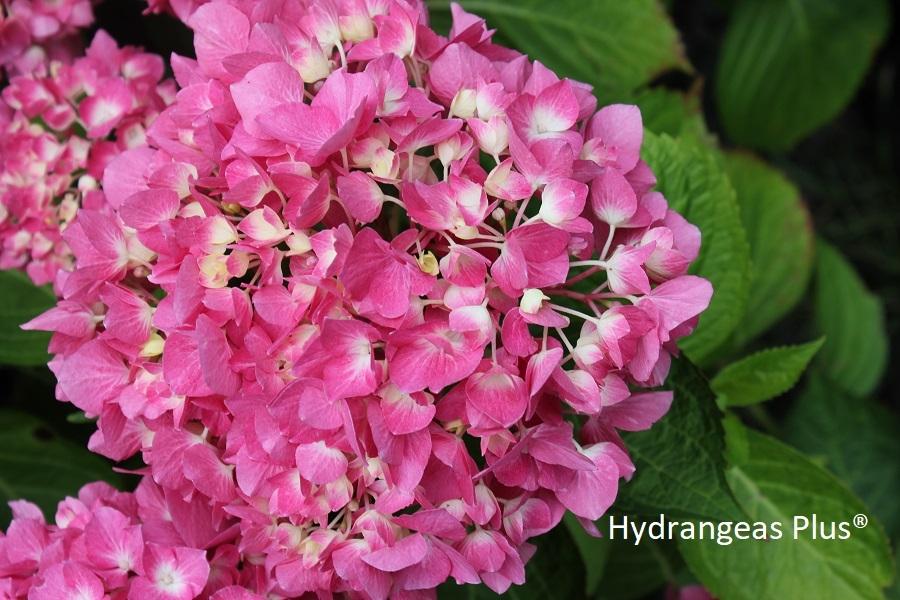 Hydrangea Macrophylla Let S Dance Blue