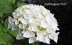 Hydrangea Macrophylla Blushing Bride® Endless Summer®