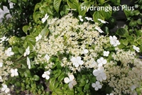 Hydrangea Anamola subsp. Petiolaris Brookside Little Leaf