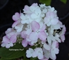 Hydrangea Paniculata Fire Light(tm)
