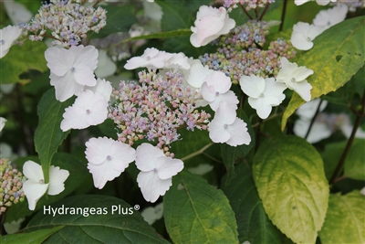 Hydrangea Serrata Golden Sunlight