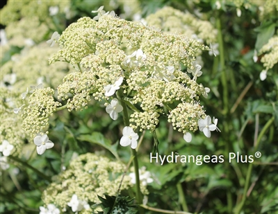Hydrangea Arborescens Green Dragon