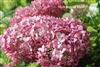Hydrangea Arborescens Incrediball Blush®
