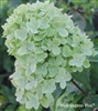 Hydrangea Paniculata Little Lime(tm)