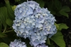 Hydrangea Macrophylla Mini Penny® Royal Majestics®