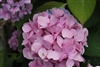 Hydrangea Macrophylla Let's Dance® Moonlight