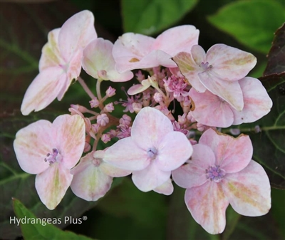 Hydrangea Serrata Painter's Pallett