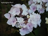 Hydrangea Macrophylla Princess Lace® Royal Majestics®