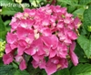 Hydrangea Macrophylla Princess Beatrix