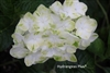 Hydrangea Macrophylla Queen of Pearls® Royal Majestics®