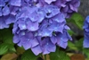 Hydrangea Macrophylla Red Star