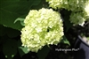 Hydrangea Arborescens Terry Greer
