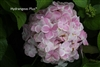 Hydrangea Macrophylla Wedding Ring