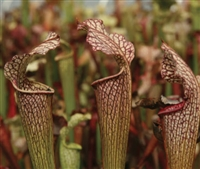 Sarracenia Areolata Pitcher Plant