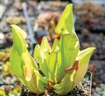 Sarracenia 'Carolina Yellow Jacket' Pitcher Plant