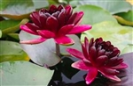 Nymphaea Black Princess Hardy Water Lily