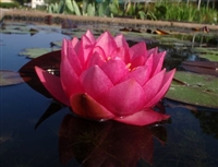 Nymphaea 'James Brydon ' Hardy WaterLily