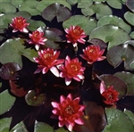 Nymphaea 'Perry's Baby Red' Hardy Water Lily