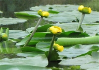 Spatterdock Nuphar Advena 1 Gallon Pot