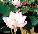 Nelumbo 'Alba Striata' Lotus